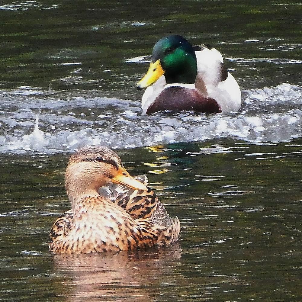 Mallards on a pond
