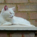 Thumbnail - a white cat